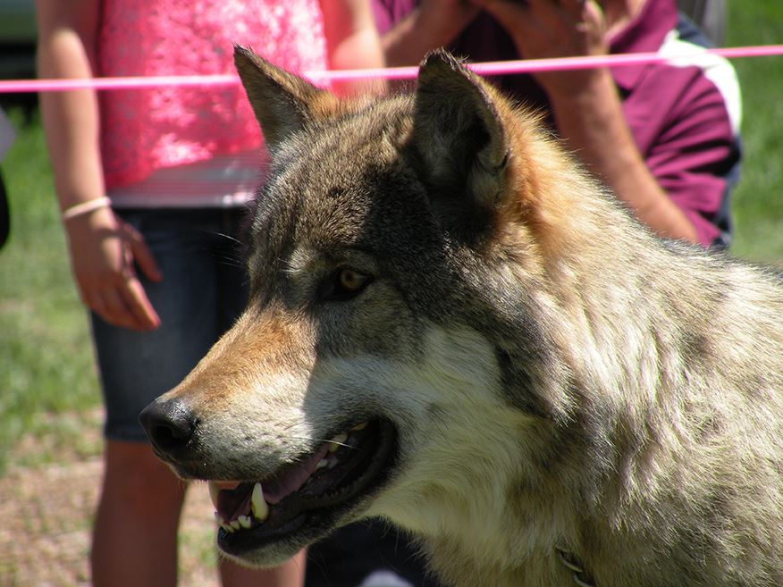 Brown Wolf's Face with People in Background