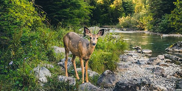 Deer Standing by Creek