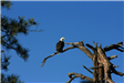 Bald Eagle Perched on Tree Branch