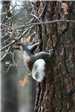 Squirrel with Tufted Ears Climbing Tree