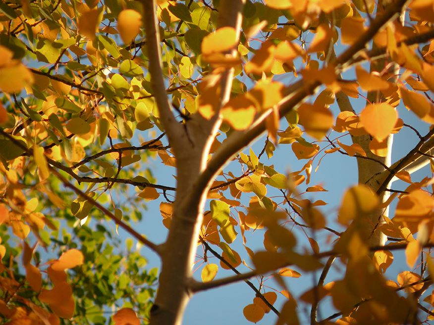 Blue Sky Showing Through Thick Yellow and Orange Tree Leaves