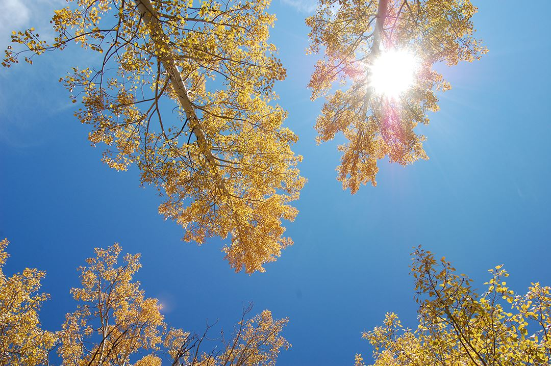 Looking Up at Yellow Leaves and Blue Sky, Sun Shining Through