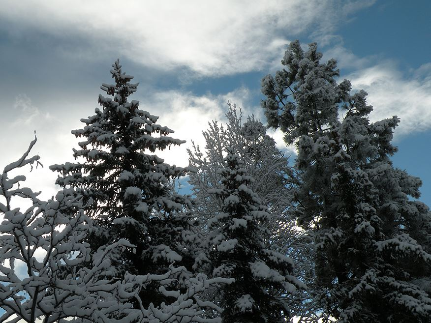Looking Up at Tall Snowy Trees Under a Cloudy Blue Sky